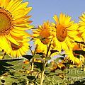 Sunflowering by David Bearden