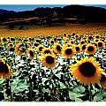 Sunflowers At Dusk by Mal Bray