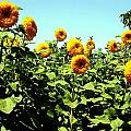 Sunflowers At Kendall Jackson Wine Estates by Kelly Manning