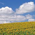 Sunflowers, Austin, Manitoba by Mike Grandmailson