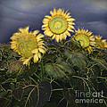 Sunflowers Digital Painting by Heinz G Mielke