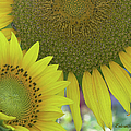 Sunflowers by Ericamaxine Price