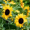 Sunflowers by Ivan SABO