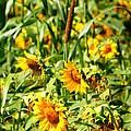 Sunflowers by Jennifer Compton