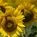 Sunflowers by Lisa Moore