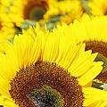 Sunflowers by Marilyn Wilson