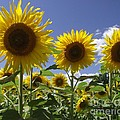 Sunflowers by Michelle Welles