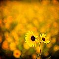 Sunflowers by Scott Sawyer