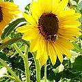 Sunflowers by Sharon Harrison