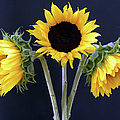 Sunflowers Three by Sandi OReilly