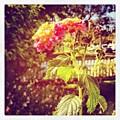 #sunlight #beautiful #flower by Cortney Herron
