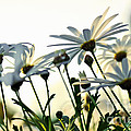 Sunlight Behind The Daisies by Kaye Menner