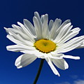 Sunlight Daisy by By Merete Stava