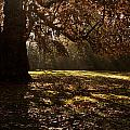 Sunlight In Trees by Dawn OConnor