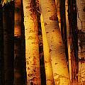 Sunlight On Aspen Trees, Twin Falls by Mike Grandmailson