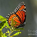 Sunlight Viceroy by Carol  Bradley