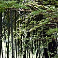 Sunlit Bamboo by Maria Urso