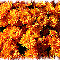 Sunlit Chrysanthemums On A Fall Day by Chantal PhotoPix