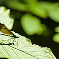 Sunlit Dragonfly by Crystal Heitzman Renskers