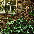 Sunlit Window And Grapevines by HD Connelly