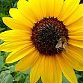 Sunny Bee by Dan Stone