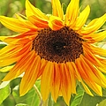 Sunny Bright Sunflower by Michelle Cassella
