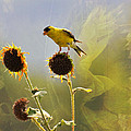Sunny Finch by Todd Hostetter
