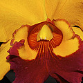 Sunny Yellow Orchid by Phyllis Denton
