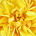 Sunny Yellow Rose With Petals And Stamens - Macro Flower Photography by Chantal PhotoPix