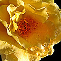 Sun Rays On The Yellow Petals by Debbie Portwood