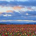 Sunrise Over A Tulip Field At Wooden by Craig Tuttle
