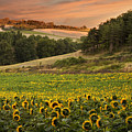 Sunrise Over Field Of Sunflowers by Verity E. Milligan