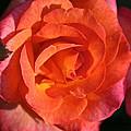 Sunrise Rose by Susan Herber
