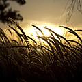 Sunset Behind Tall Grass by Douglas Barnard