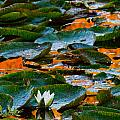 Sunset On A Lily Pond by Marie Jamieson