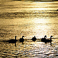 Sunset Over Canada Geese by Joseph Rossi