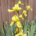 Sunshine Bright Yellow Iris by Peggy Wilburn