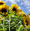 Sunshine Lolipops by Diane E Berry