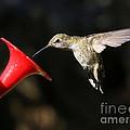 Sunshine On Hummingbird by Carol Groenen