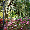 Sunshine Through Savannah Park Trees by Carol Groenen