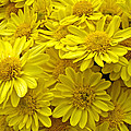 Sunshine Yellow Chrysanthemums by Mother Nature