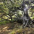 Sunstar Oak by Sharon Foster