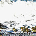 Surf Ducks by Derek Holzapfel