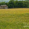 Swaledale Buttercup Meadow by Louise Heusinkveld
