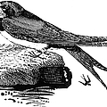 Swallow, C1800 by Granger