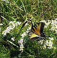 Swallow Tail  by Skip Willits