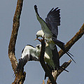 Swallow Tailed Kite Feeding A Fledgling by Barbara Bowen