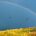 Swallows Under A Rainbow by Thomas R Fletcher