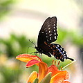Swallowtail - Lite And Lively by Travis Truelove