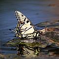 Swallowtail - Walking On Water by Travis Truelove